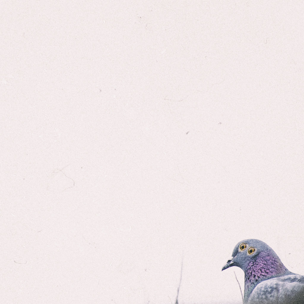 pipigeon.jpg